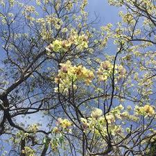 Pohon Majegau