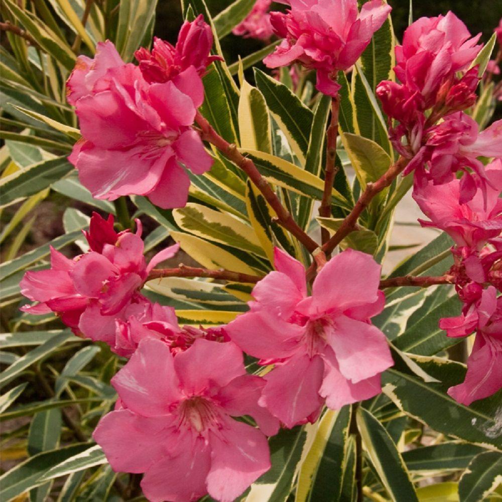 Tanaman Oleander