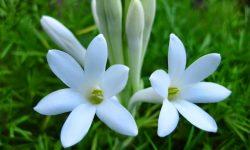 bunga sedap malam