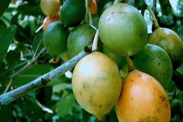Pohon Gandaria