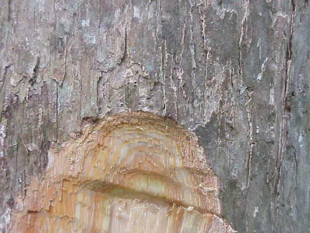 pohon gofasa