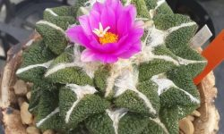 kaktus ariocarpus
